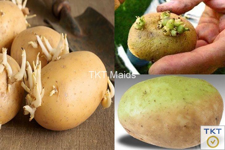 khoai tây mọc mầm có độc tố