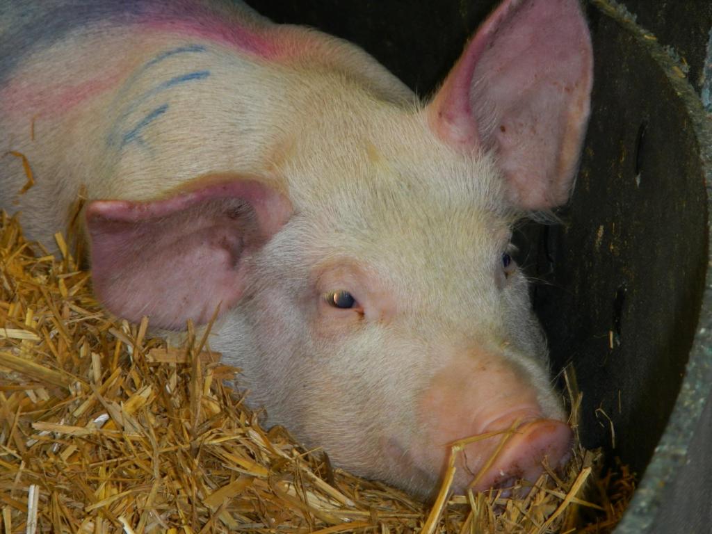 lợn bị nhiễm dịch tả lợn châu phi