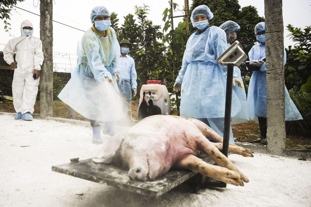 Lợn nhiễm dịch tả châu phi chết