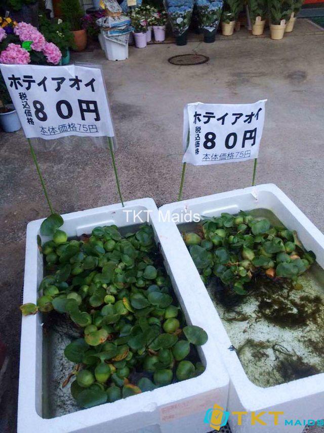 Cây bèo tây bán tại Nhật