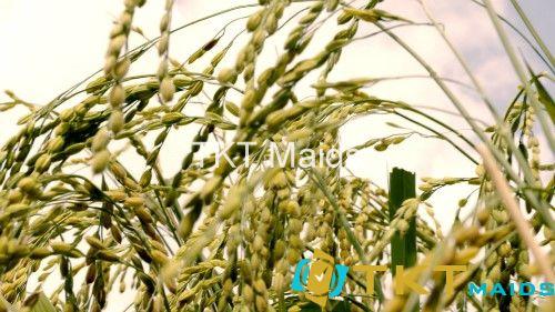 Mặt hàng gạo của Việt Nam từng bị trả vềvì lý do tồn dư thuốc bảo vệ thực vật