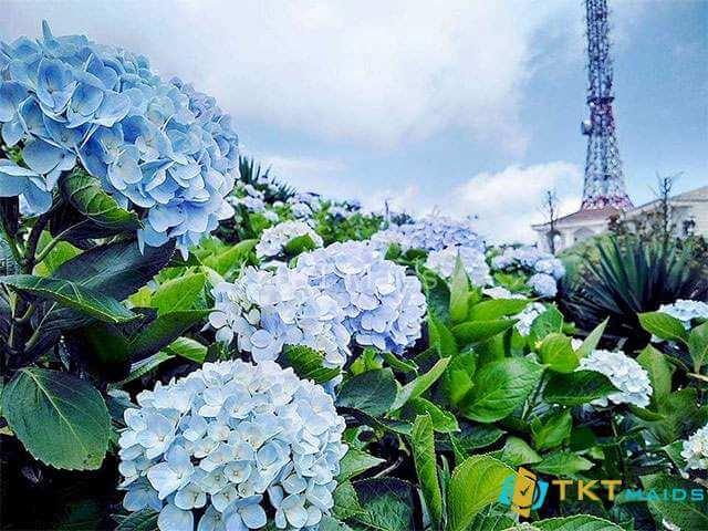 Hình ảnh: Hoa cẩm tú cầu