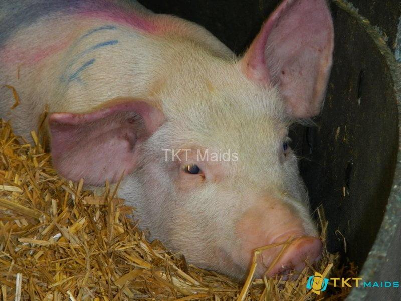 Hình ảnh: lợn bị nhiễm dịch tả lợn châu phi